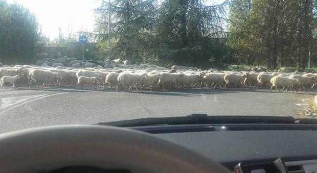 Donna al volante si ferma per far passare un gregge di pecora, le conta e si addormenta