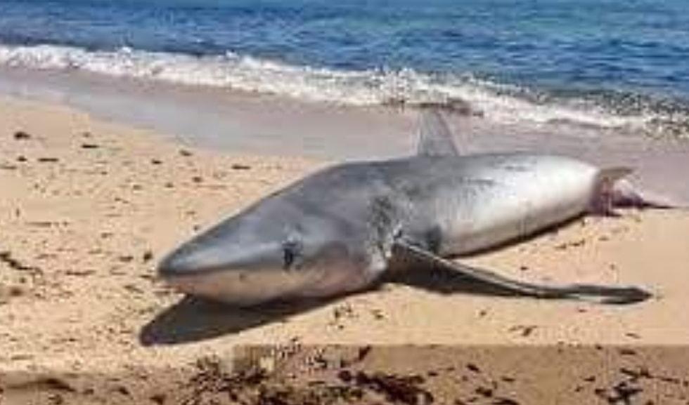Squalo di due metri avvistato più volte a riva sulla spiaggia di Fiumicino