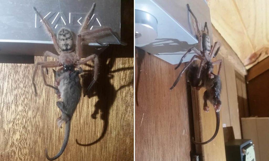 Coppia di ragazzi inciampa su un ragno gigante che stava mangiando un opossum