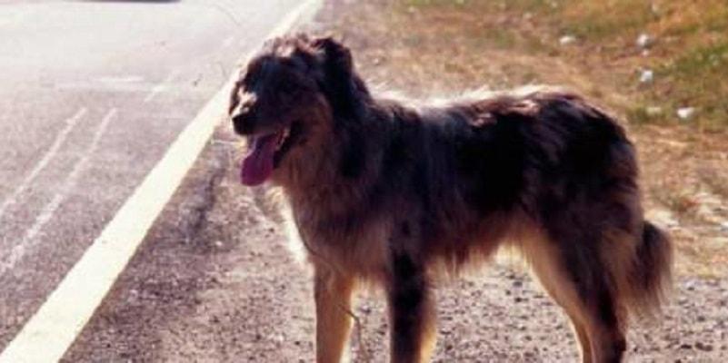 Il padrone muore, il cane lo sta aspettando sul luogo dell'incidente da un anno e mezzo