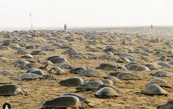 Coronavirus, le tartarughe nidificano indisturbate in spiagg