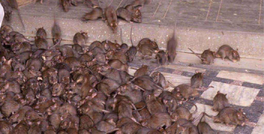 """Invasione di topi, """"come la piaga biblica"""". Il Video"""